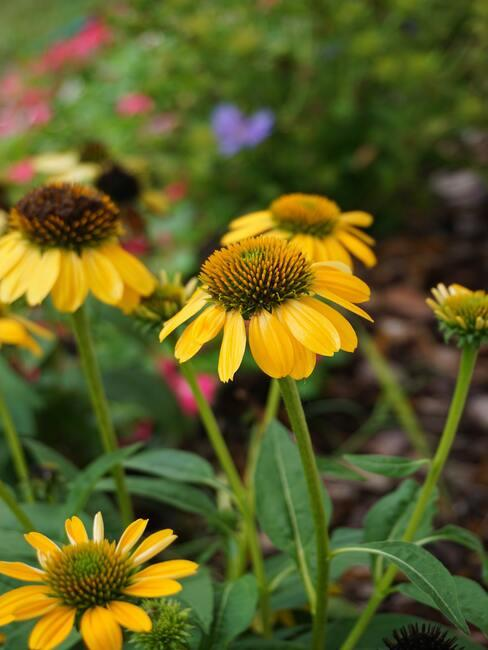 Jesienne kwiaty: żółta jeżówka