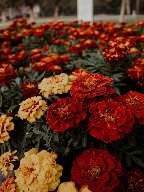 Jesienne kwiaty: aksamitka w zólto pomarańczowym barwach