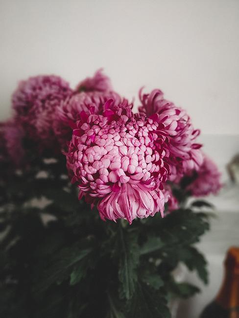 różowe chryzantemy w wazonie