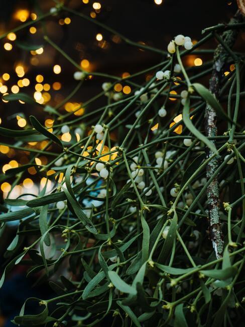tradycje bożonarodzeniowe: jemioła
