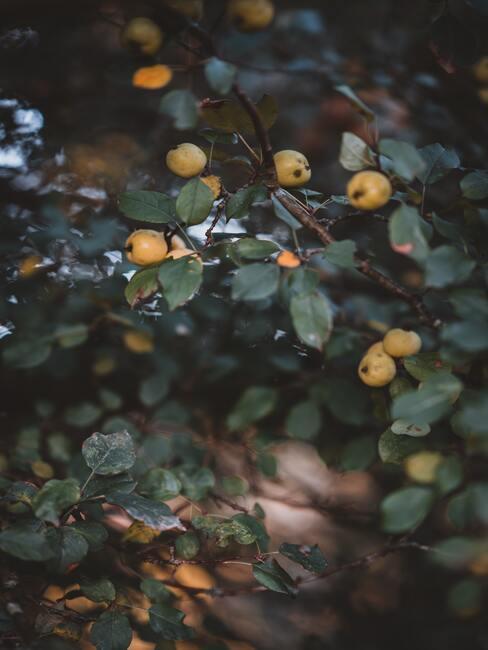 krzew ozdobny pigwowiec z dojrzałymi żółtymi owocami