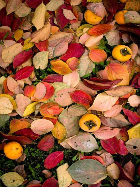 Owoce pigwowca leżąca na zieli zaścielonej kolorowymi liśćmi