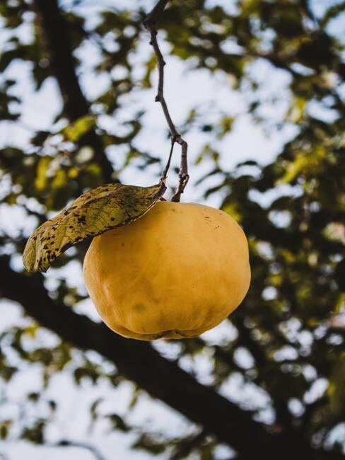 Owoc pigwowca rosnący na krzewie