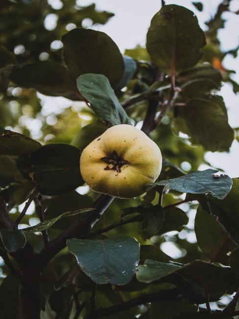 nalewka z pigwy: Owoc pigwowca rosnący na krzewie