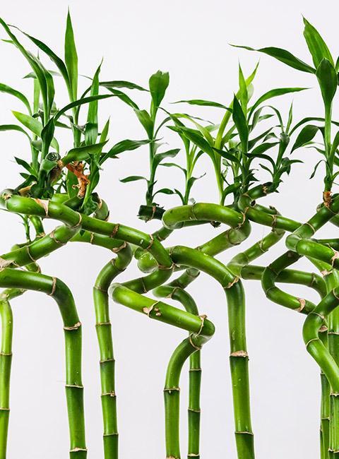 gałązki bambusa