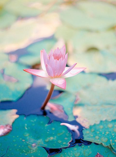 kwiat lotosu czyli lilia wodna na powierzchni stawu