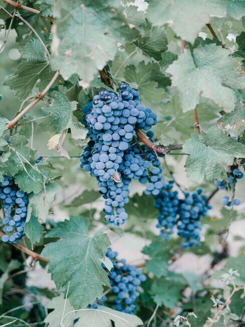Kiść ciemnych winogron rosnących na drzewie