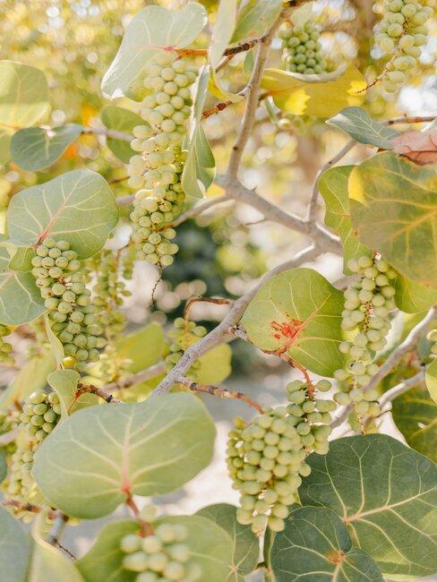 Jasne winogrona rosnące na kiści