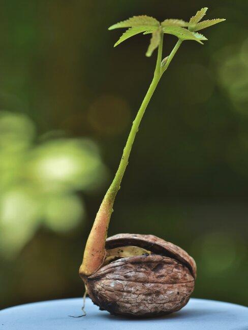 Łodyga wyrastająca z orzecha