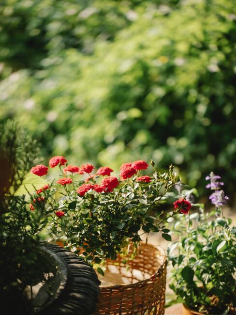 červené kvietky v kvetináči