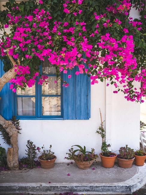 Predzáhradka s kvetináčmi pod oknom