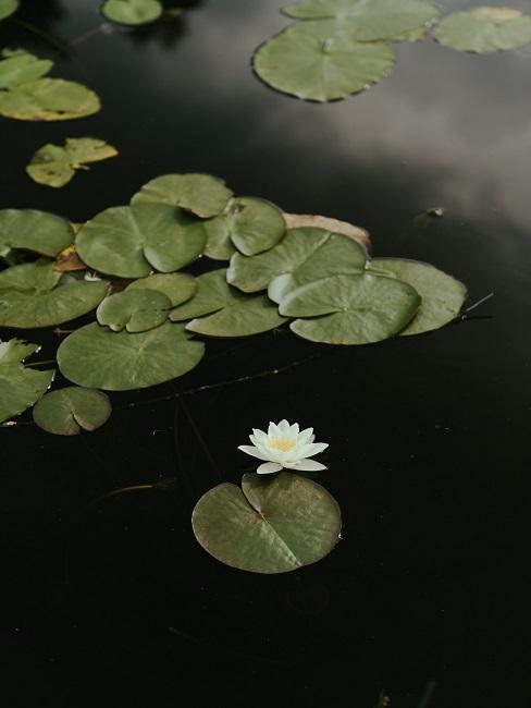 Japonská záhrada s leknami na jazierku