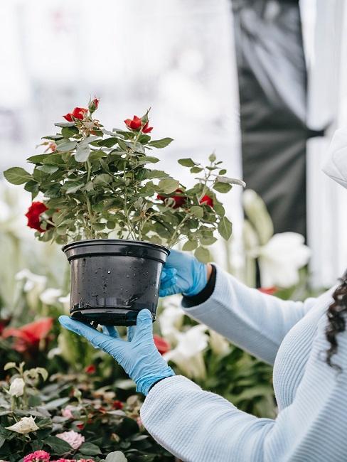 Príprava kvetov do predzáhradky