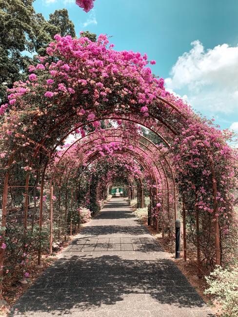japonská ružová záhrada