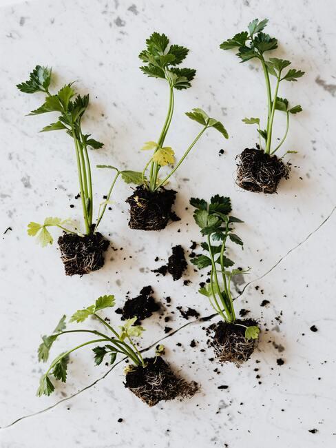 Sadenie byliniek do kvetináčov