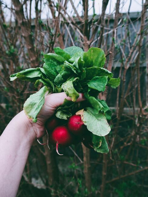 Pestovanie zeleniny. reďkovka
