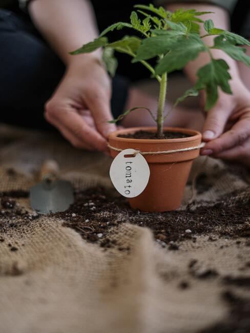 Pestovanie paradajok v kvetináči