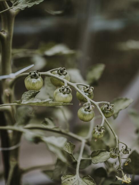 Nezrelé plody paradajok