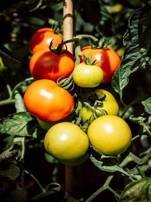 Pestovanie paradajok na slnku