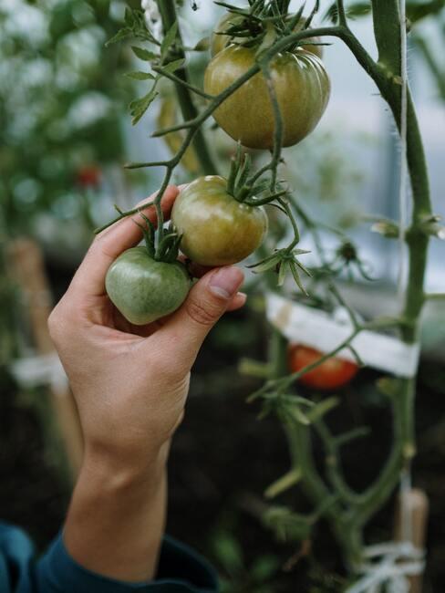 Pestovanie paradajok v záhrade