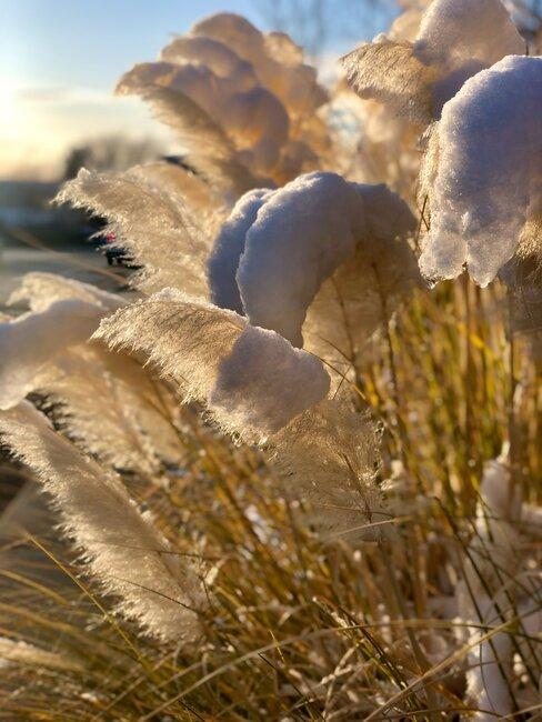 Pampas tráva v záhrade