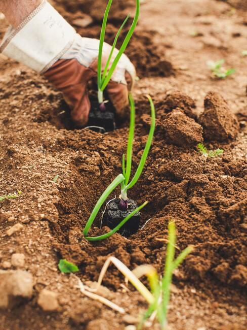 Sadenie cibule v záhrade