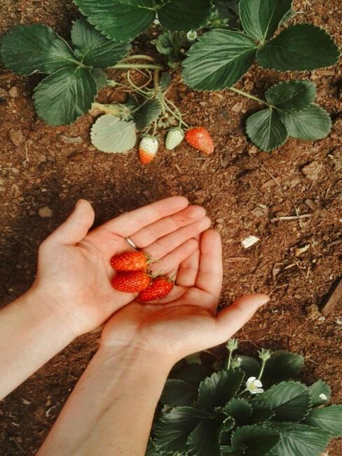 Pestovanie jahôd: záhrada alebo balkón