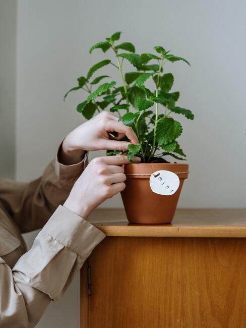 Pestovanie mäty v interiéri