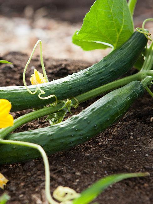 uhorky na záhrade