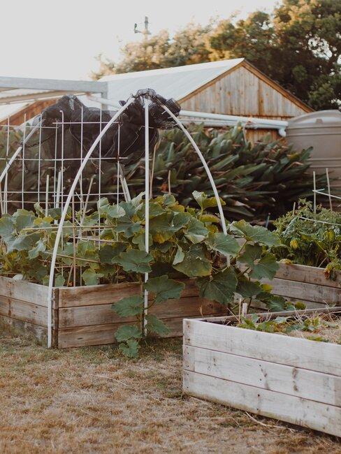 Sadenie zemiakov v záhrade