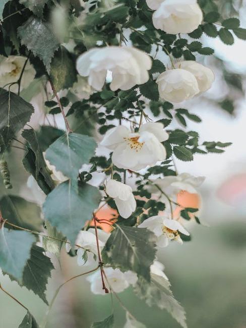 biele kvety na strome