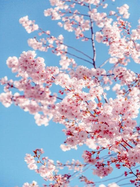 kvitnúci ružový strom