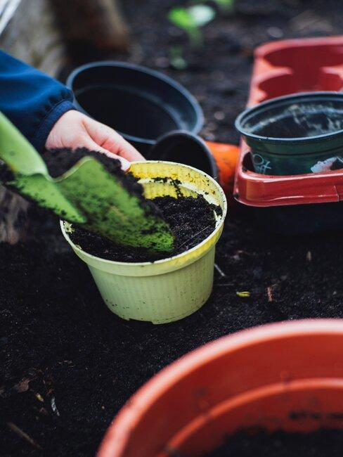 Pestovanie zázvoru v kvetináči
