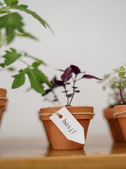 Bazalka v kvetináči