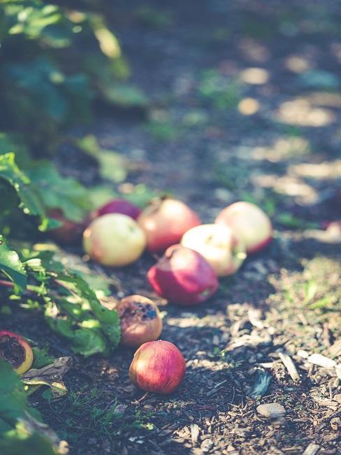 Jablká v komposte