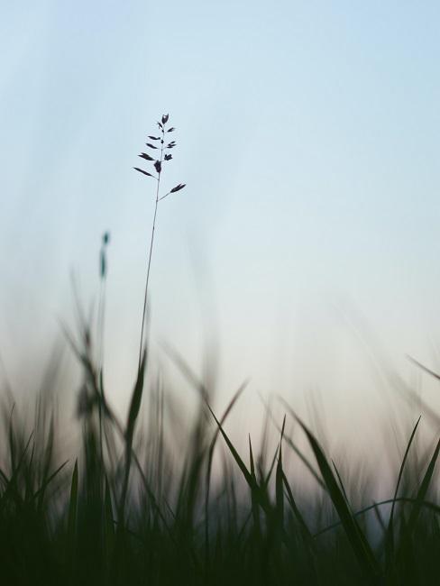 Nepokosená tráva