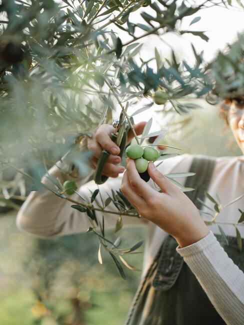 Strihanie viniča a olivovníka