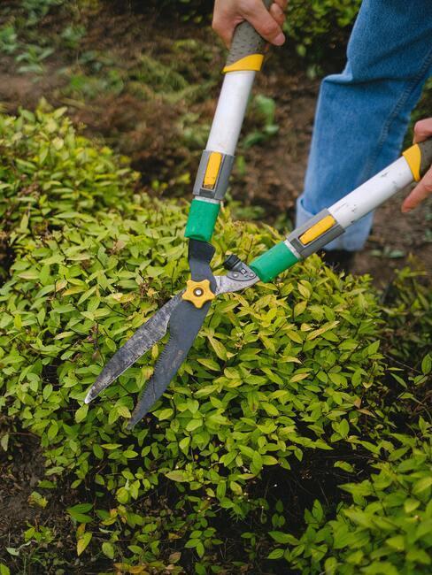 Úprava záhrady: strihanie kríkov