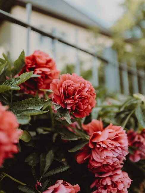 Úprava záhrady v okolí domu: kvety