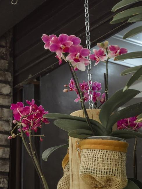 orchidea v kvetináči