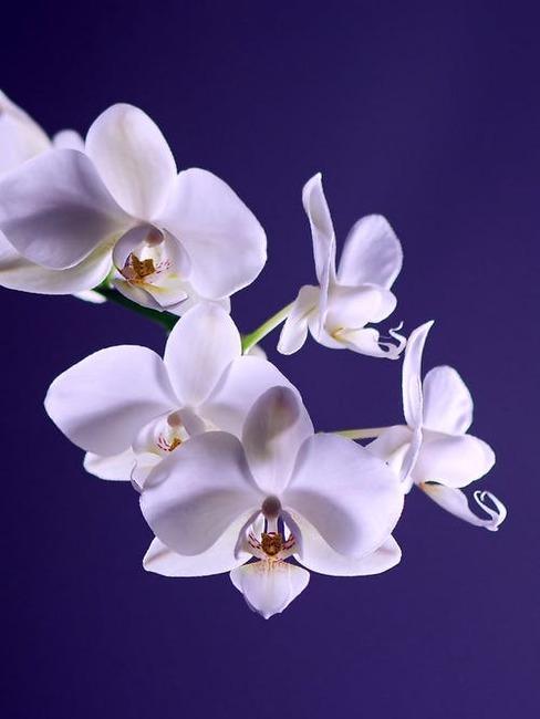 detail na orchideu