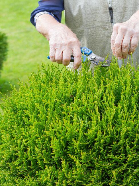Strihanie tují na záhrade