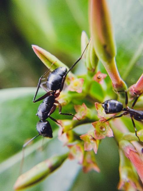 mravce na kvete