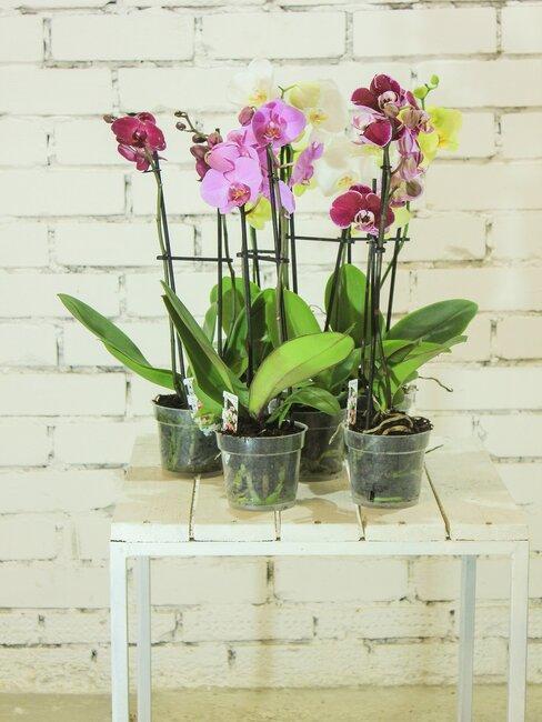 Orchidey v črepníku