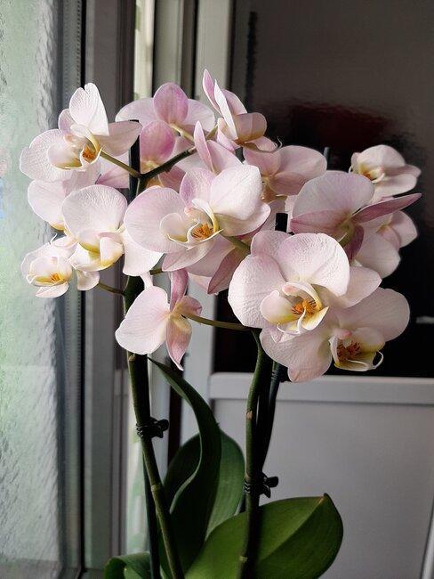 Svetlo-ružová orchidea