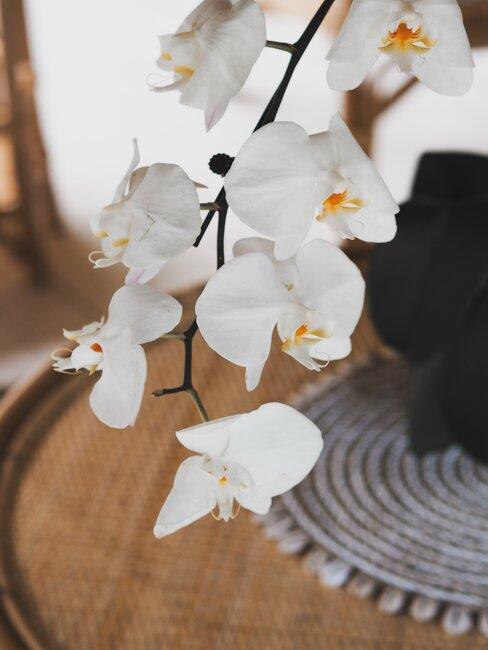 Biela orchidea v byte