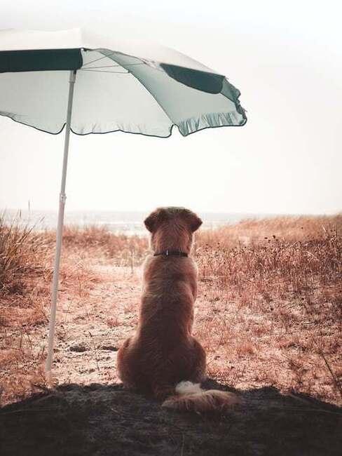 pes pod slnečníkom