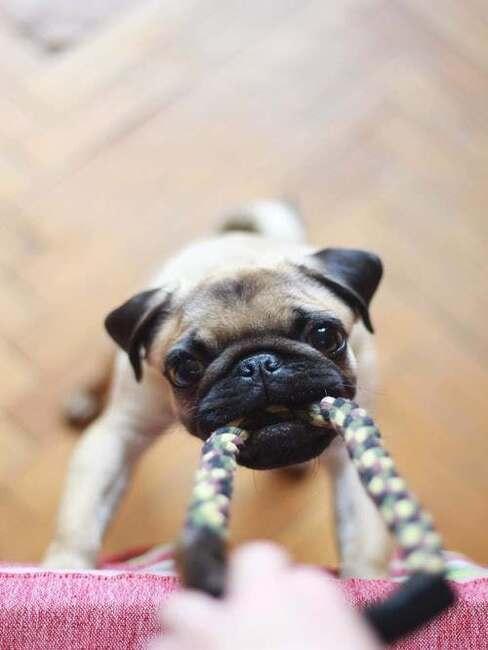 hrajúci sa pes