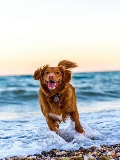 pes pri mori
