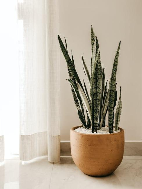 dekoračná rastlina